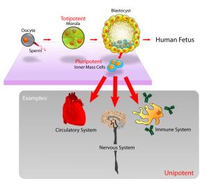 656px-stem_cells_diagram