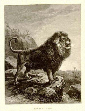 BarbaryLion1898